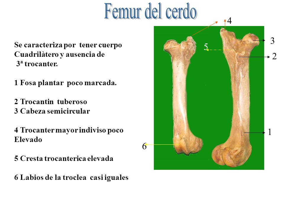 Se caracteriza por tener cuerpo Cuadrilàtero y ausencia de 3ª trocanter. 1 Fosa plantar poco marcada. 2 Trocantin tuberoso 3 Cabeza semicircular 4 Tro