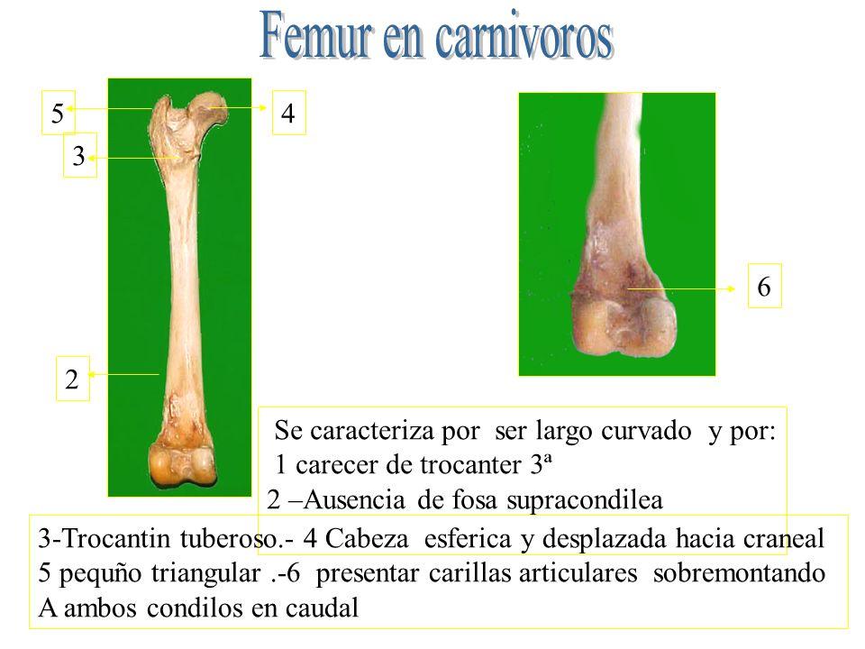 Se caracteriza por ser largo curvado y por: 1 carecer de trocanter 3ª 2 –Ausencia de fosa supracondilea 3-Trocantin tuberoso.- 4 Cabeza esferica y des