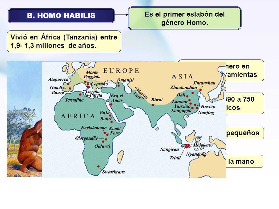 B. HOMO HABILIS Fue el primero en elaborar herramientas Es el primer eslabón del género Homo. Vivió en África (Tanzania) entre 1,9- 1,3 millones de añ