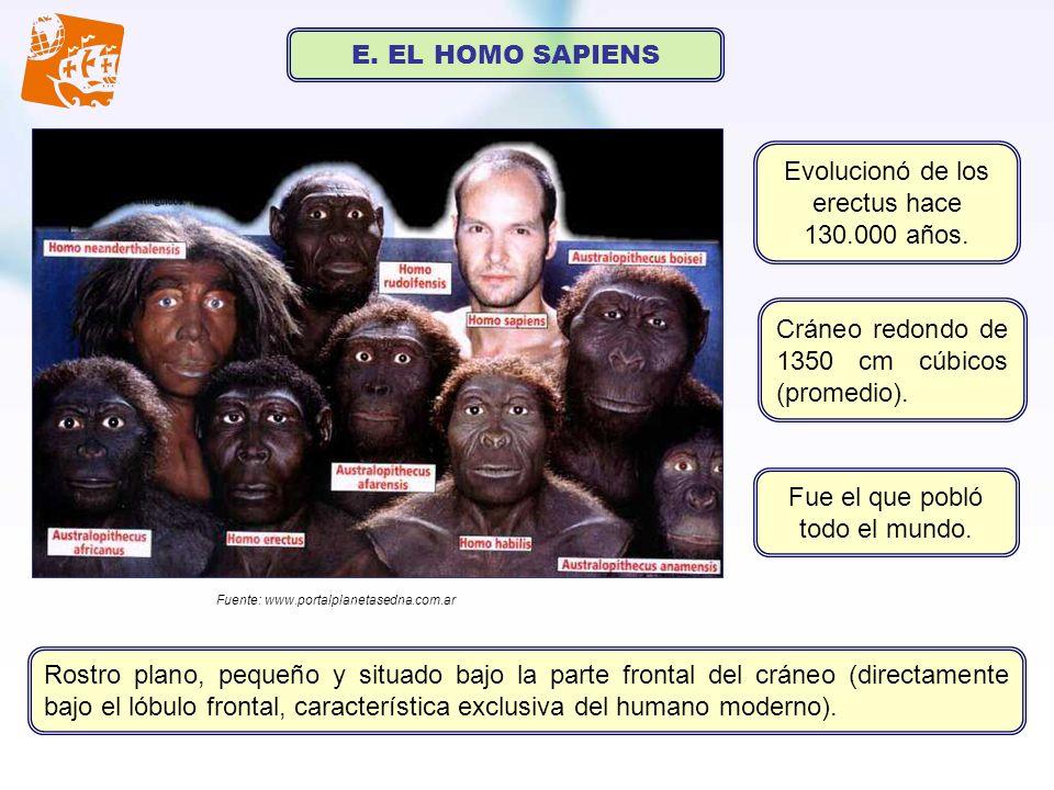 E. EL HOMO SAPIENS Evolucionó de los erectus hace 130.000 años. Fuente: www.portalplanetasedna.com.ar Cráneo redondo de 1350 cm cúbicos (promedio). Fu