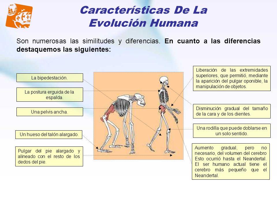 Características De La Evolución Humana Son numerosas las similitudes y diferencias. En cuanto a las diferencias destaquemos las siguientes: La bipedes