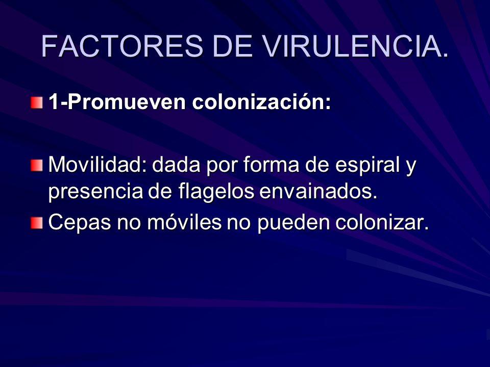 1-Promueven colonización: Movilidad: dada por forma de espiral y presencia de flagelos envainados. Cepas no móviles no pueden colonizar.