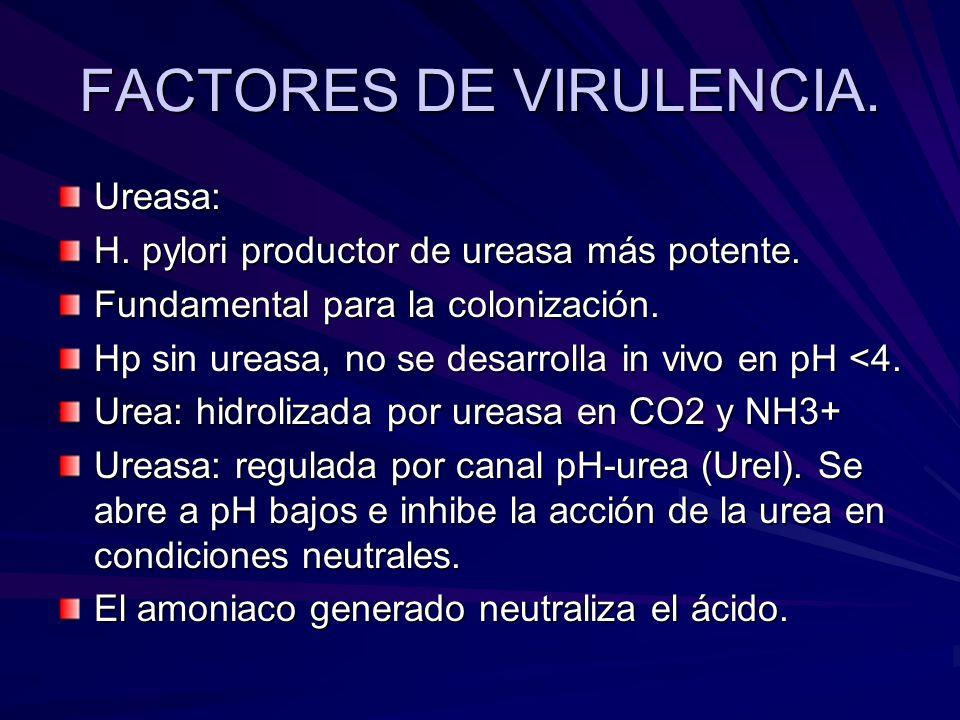 FACTORES DE VIRULENCIA. Ureasa: H. pylori productor de ureasa más potente. Fundamental para la colonización. Hp sin ureasa, no se desarrolla in vivo e