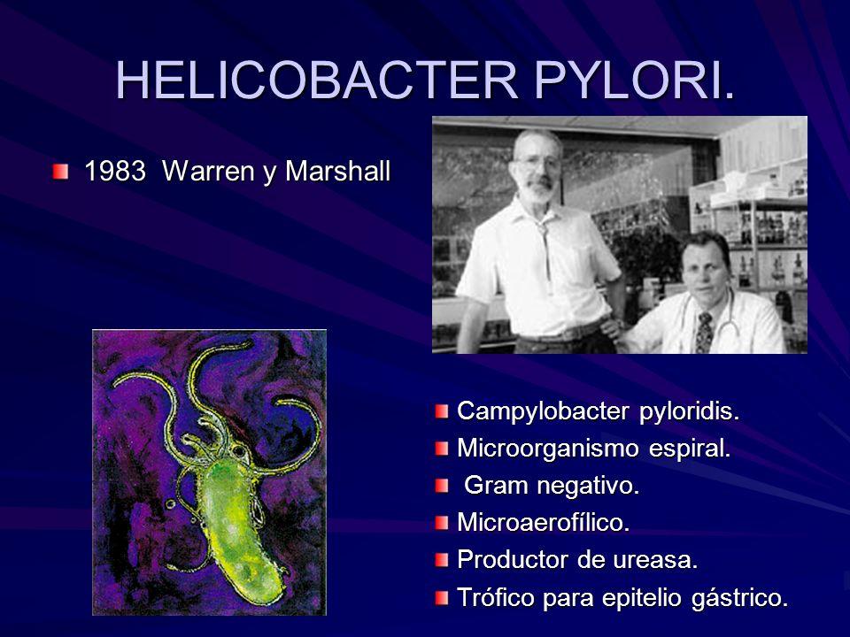 HELICOBACTER PYLORI. 1983 Warren y Marshall Campylobacter pyloridis. Campylobacter pyloridis. Microorganismo espiral. Microorganismo espiral. Gram neg