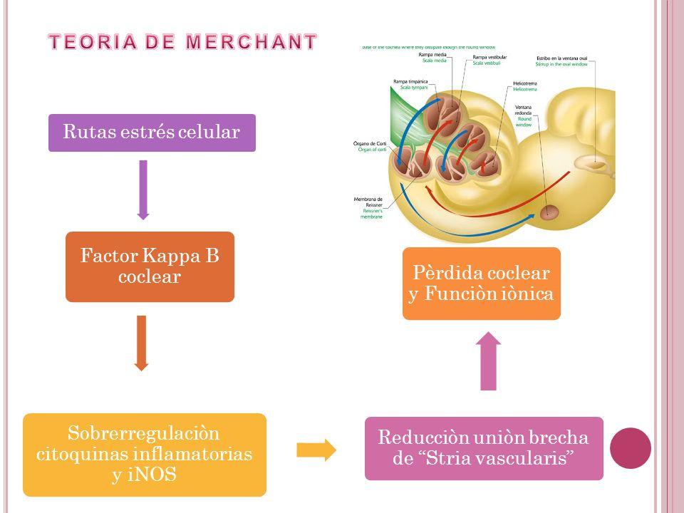 Rutas estrés celular Factor Kappa B coclear Sobrerregulaciòn citoquinas inflamatorias y iNOS Reducciòn uniòn brecha de Stria vascularis Pèrdida coclea