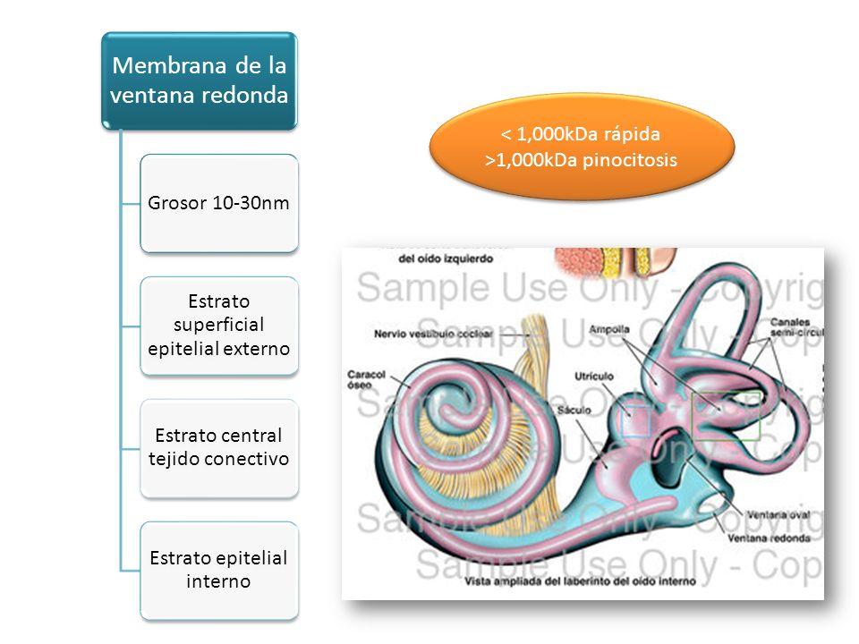 Membrana de la ventana redonda Grosor 10- 30nm Estrato superficial epitelial externo Estrato central tejido conectivo Estrato epitelial interno < 1,00