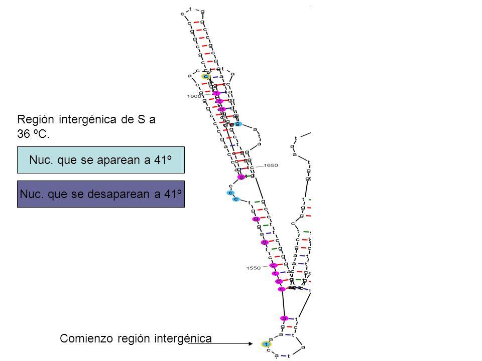 Región intergénica de S a 36 ºC. Nuc. que se aparean a 41º Nuc. que se desaparean a 41º Comienzo región intergénica