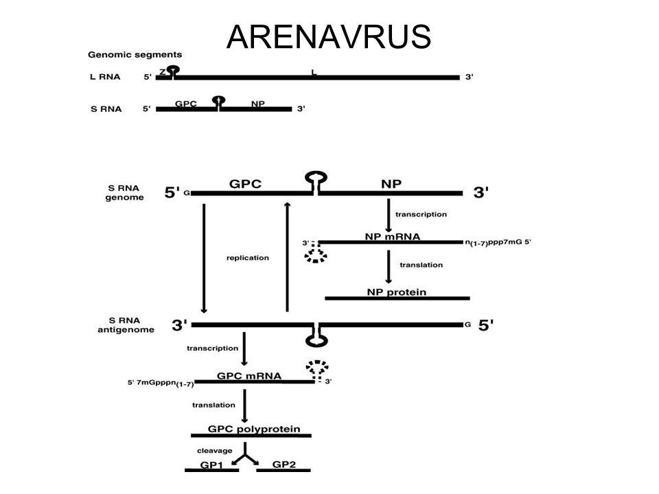 Caracteristica de los arenavirus Causan infección persistente en el roedor e infección aguda en humanos.