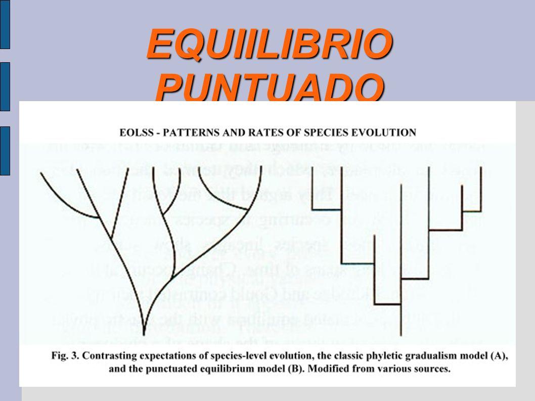 EQUIILIBRIO PUNTUADO Surgió en respuesta a un problema del darwinismo que el propio Darwin intentó resolver: si las especies surgen por una acumulació
