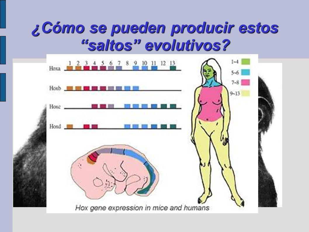 ¿Cómo se pueden producir estos saltos evolutivos? Heterocronías: neotenia y progenesis. Endosimbiosis. Evolución en mosaico. Mutaciones en genes regul