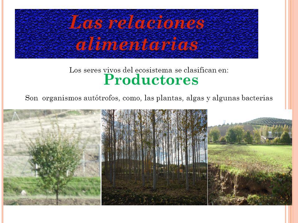 Las relaciones alimentarias Los seres vivos del ecosistema se clasifican en: Productores Son organismos autótrofos, como, las plantas, algas y algunas bacterias