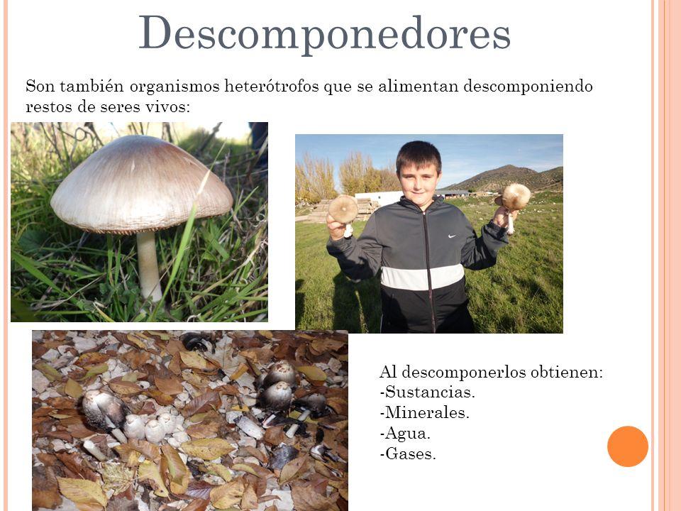 Descomponedores Son también organismos heterótrofos que se alimentan descomponiendo restos de seres vivos: Al descomponerlos obtienen: -Sustancias.