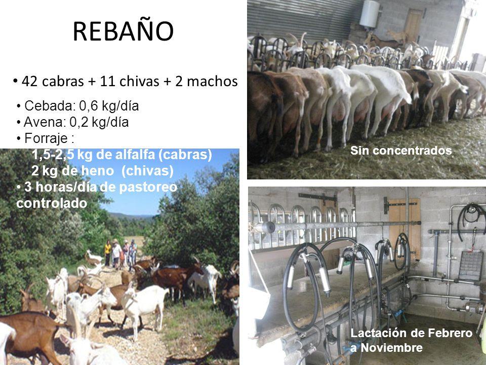 REBAÑO 42 cabras + 11 chivas + 2 machos Sin concentrados Cebada: 0,6 kg/día Avena: 0,2 kg/día Forraje : 1,5-2,5 kg de alfalfa (cabras) 2 kg de heno (c