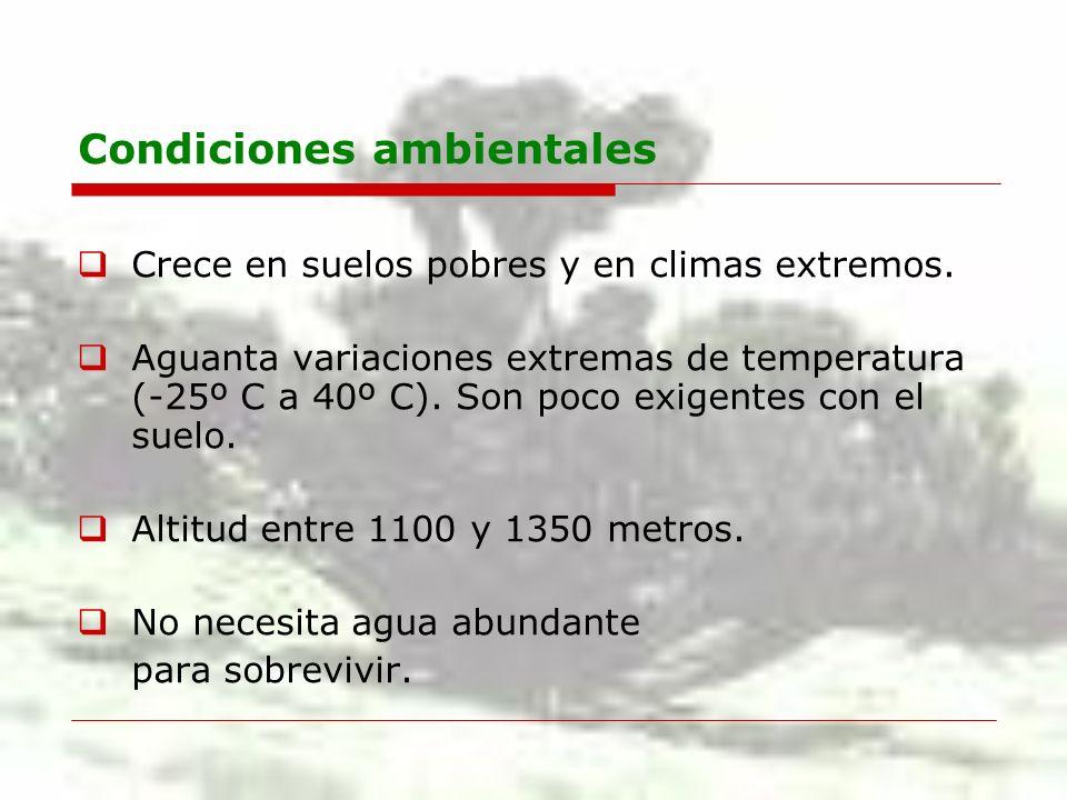 Condiciones ambientales Crece en suelos pobres y en climas extremos. Aguanta variaciones extremas de temperatura (-25º C a 40º C). Son poco exigentes