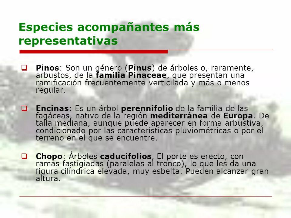 Especies acompañantes más representativas Pinos: Son un género (Pinus) de árboles o, raramente, arbustos, de la familia Pinaceae, que presentan una ra