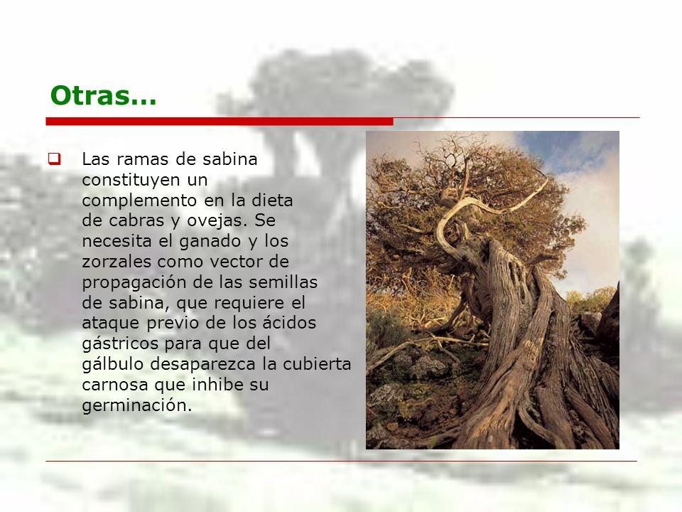 Otras… Las ramas de sabina constituyen un complemento en la dieta de cabras y ovejas. Se necesita el ganado y los zorzales como vector de propagación