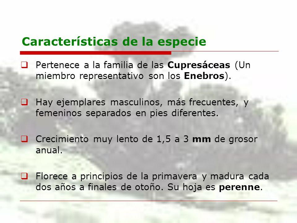 Características de la especie Pertenece a la familia de las Cupresáceas (Un miembro representativo son los Enebros). Hay ejemplares masculinos, más fr