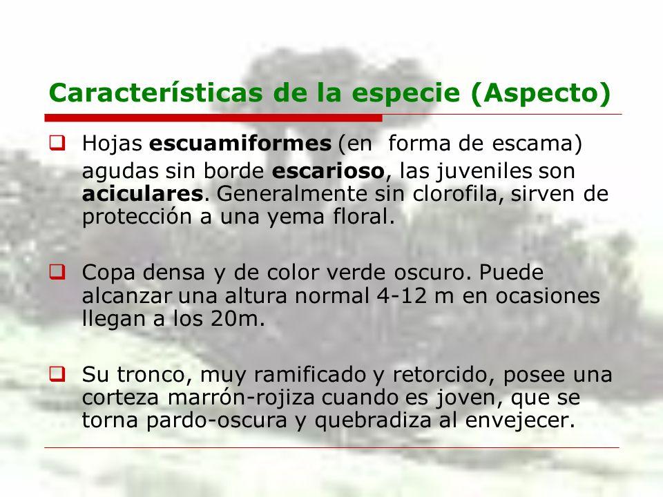 Características de la especie (Aspecto) Hojas escuamiformes (en forma de escama) agudas sin borde escarioso, las juveniles son aciculares. Generalment