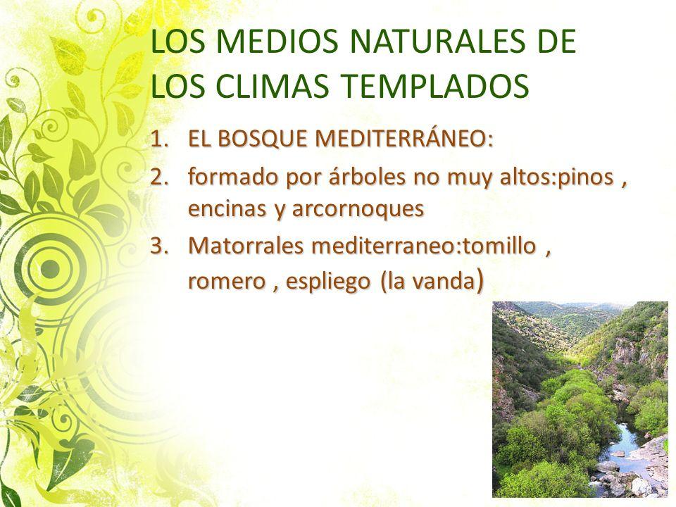 LOS MEDIOS NATURALES DE LOS CLIMAS TEMPLADOS 1.EL BOSQUE MEDITERRÁNEO: 2.formado por árboles no muy altos:pinos, encinas y arcornoques 3.Matorrales me