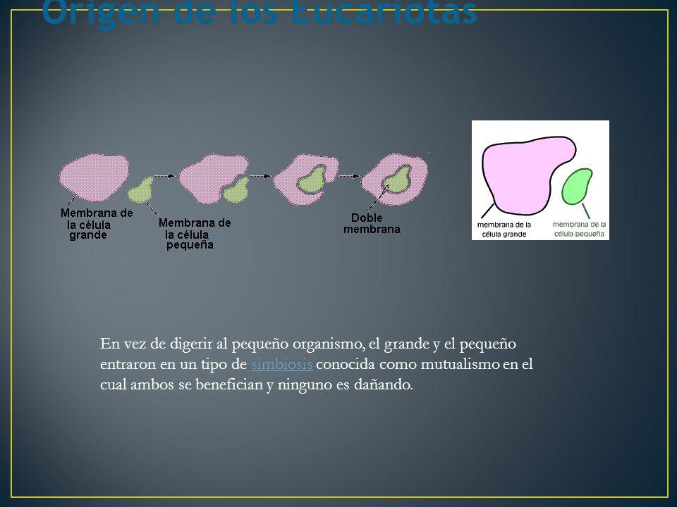 En vez de digerir al pequeño organismo, el grande y el pequeño entraron en un tipo de simbiosis conocida como mutualismo en el cual ambos se benefician y ninguno es dañando.simbiosis