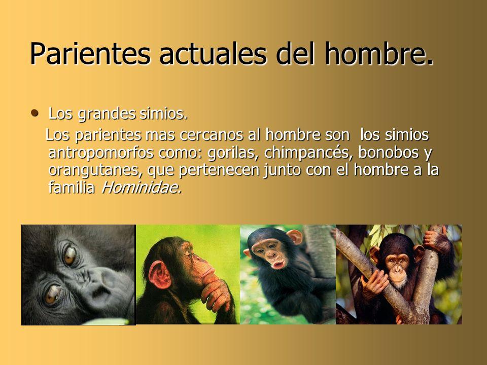 Parientes actuales del hombre. Los grandes simios. Los grandes simios. Los parientes mas cercanos al hombre son los simios antropomorfos como: gorilas