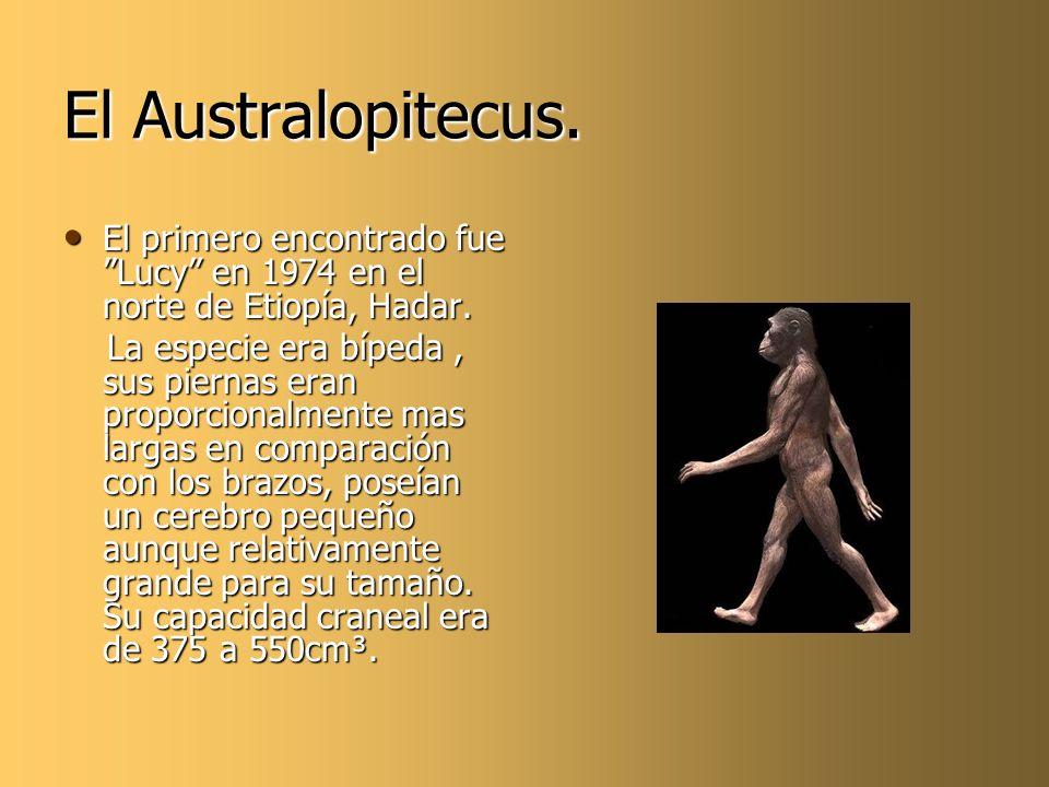El Australopitecus. El primero encontrado fue Lucy en 1974 en el norte de Etiopía, Hadar. El primero encontrado fue Lucy en 1974 en el norte de Etiopí