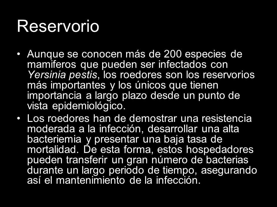 Reservorio Aunque se conocen más de 200 especies de mamiferos que pueden ser infectados con Yersinia pestis, los roedores son los reservorios más impo