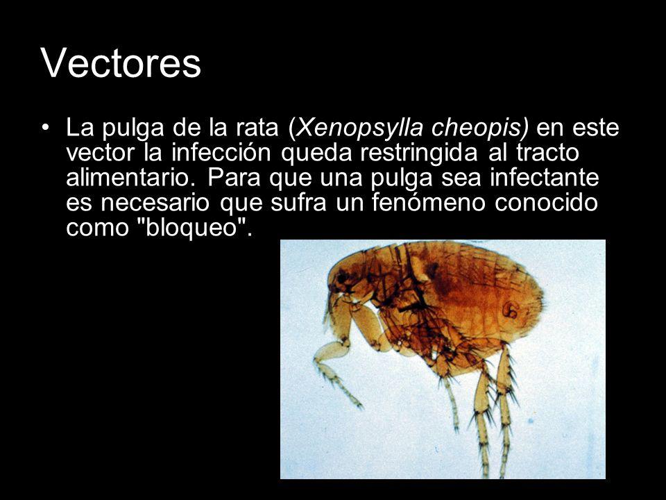Vectores La pulga de la rata (Xenopsylla cheopis) en este vector la infección queda restringida al tracto alimentario. Para que una pulga sea infectan