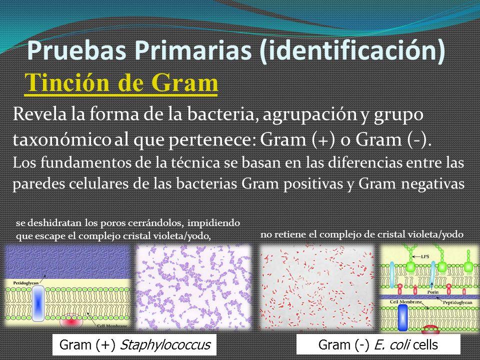 Films secos (Petrifilm) Son películas deshidratadas de medios de cultivos generales o selectivos en las que se deposita 1 ml de la muestra que rehidrata el medio.