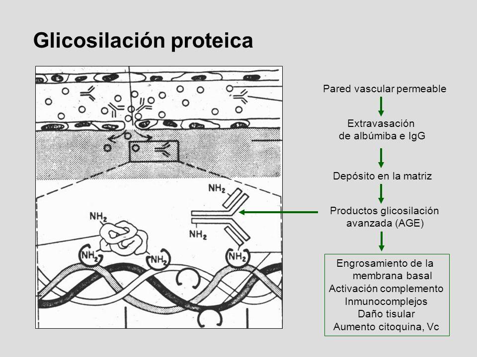 Pared vascular permeable Extravasación de albúmiba e IgG Depósito en la matriz Productos glicosilación avanzada (AGE) Engrosamiento de la membrana bas