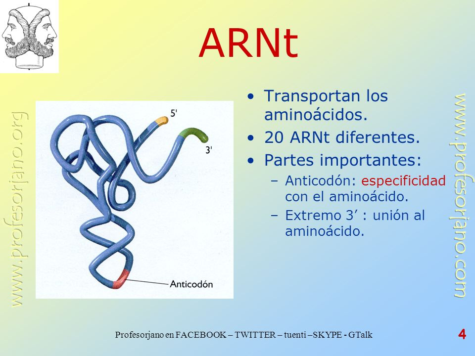 Profesorjano en FACEBOOK – TWITTER – tuenti –SKYPE - GTalk 4 ARNt Transportan los aminoácidos. 20 ARNt diferentes. Partes importantes: –Anticodón: esp