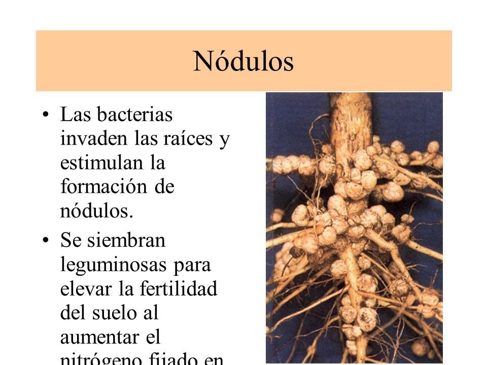 SIMBIOSIS MICRORGA- NISMOS-LEGUMINOSAS Bacterias como Rhizobium, en combinación con células de las raíces de leguminosas son capaces de fijar el nitró