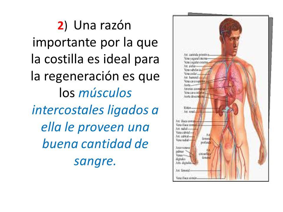 2) Una razón importante por la que la costilla es ideal para la regeneración es que los músculos intercostales ligados a ella le proveen una buena can