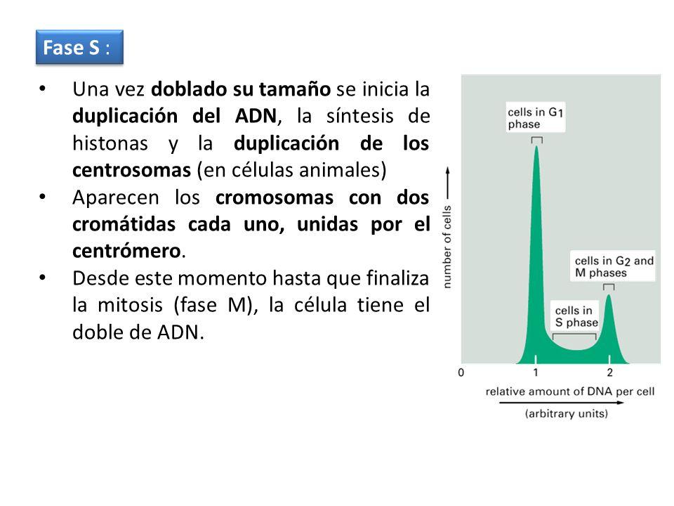 Una vez doblado su tamaño se inicia la duplicación del ADN, la síntesis de histonas y la duplicación de los centrosomas (en células animales) Aparecen