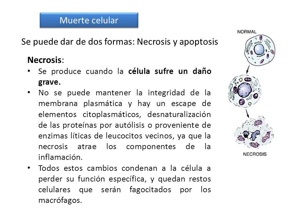 Se puede dar de dos formas: Necrosis y apoptosis Necrosis: Se produce cuando la célula sufre un daño grave. No se puede mantener la integridad de la m