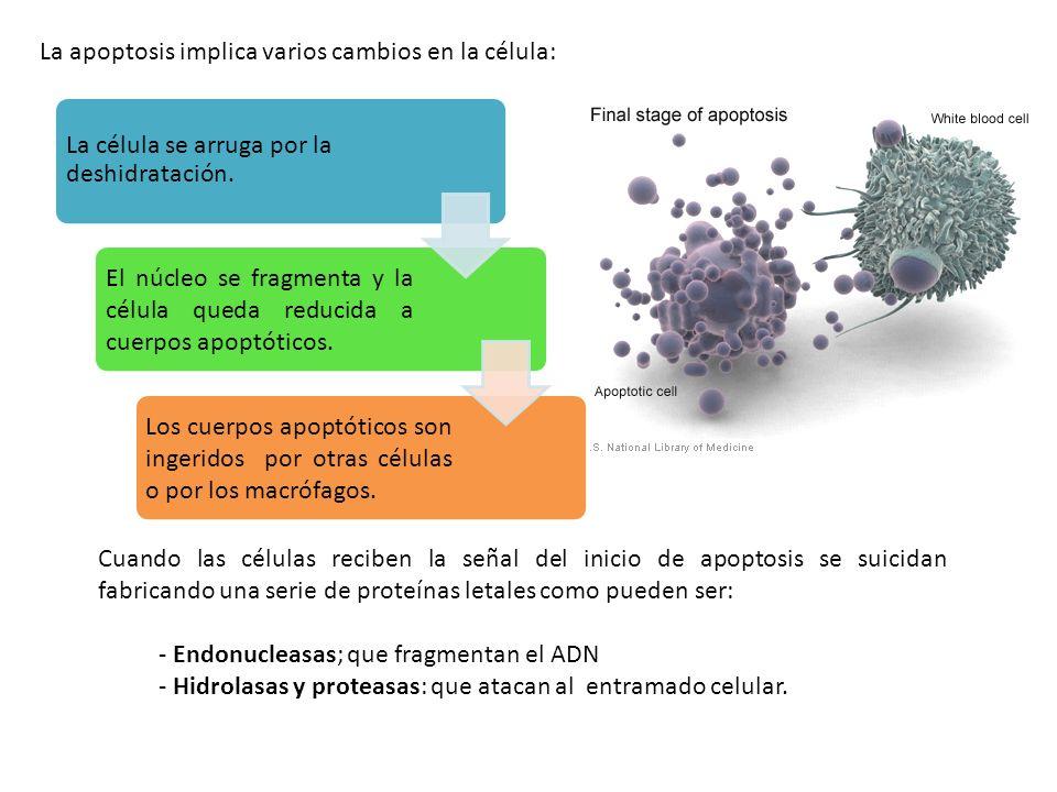 La apoptosis implica varios cambios en la célula: La célula se arruga por la deshidratación. El núcleo se fragmenta y la célula queda reducida a cuerp