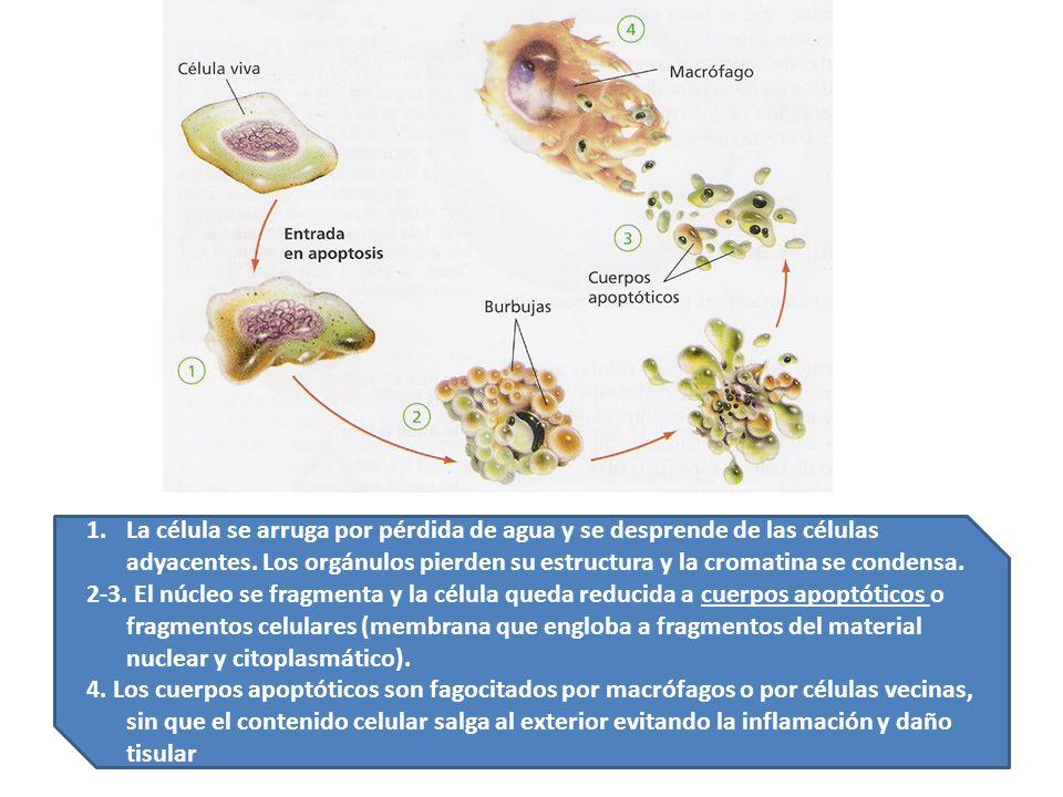 1.La célula se arruga por pérdida de agua y se desprende de las células adyacentes. Los orgánulos pierden su estructura y la cromatina se condensa. 2-