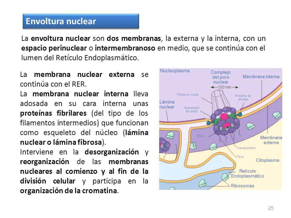 La envoltura nuclear son dos membranas, la externa y la interna, con un espacio perinuclear o intermembranoso en medio, que se continúa con el lumen d