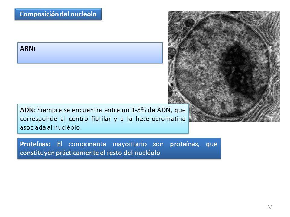 33 Composición del nucleolo Proteínas: El componente mayoritario son proteínas, que constituyen prácticamente el resto del nucléolo ADN: Siempre se en