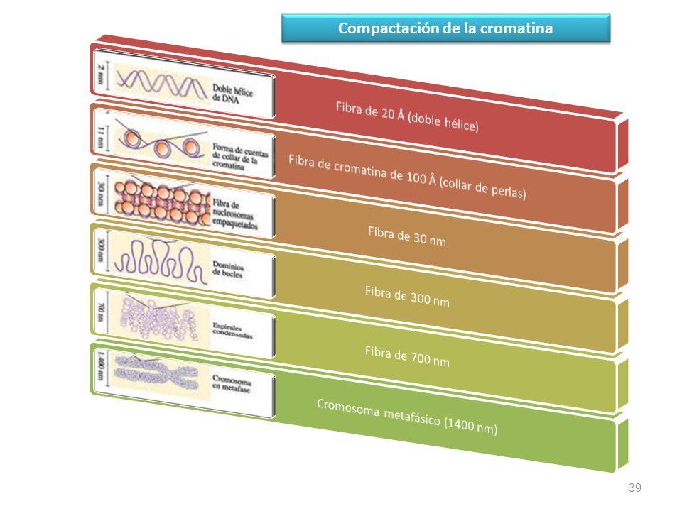39 Compactación de la cromatina