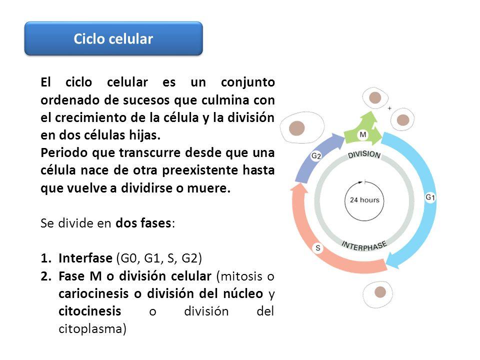 El ciclo celular es un conjunto ordenado de sucesos que culmina con el crecimiento de la célula y la división en dos células hijas. Periodo que transc