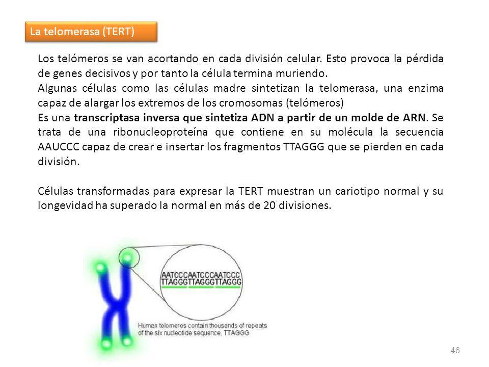 46 Los telómeros se van acortando en cada división celular. Esto provoca la pérdida de genes decisivos y por tanto la célula termina muriendo. Algunas