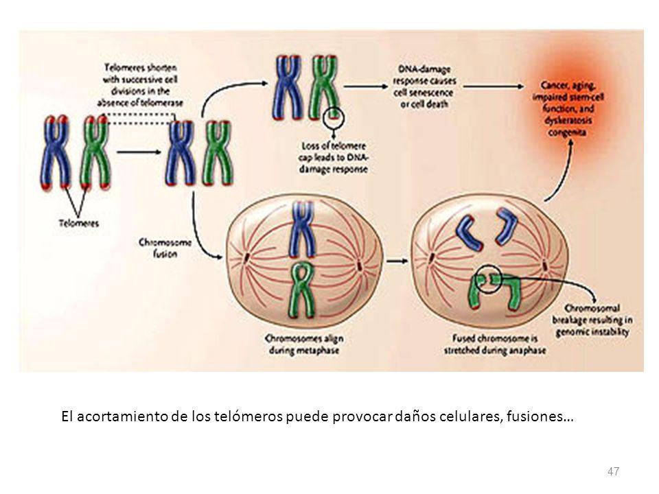 47 El acortamiento de los telómeros puede provocar daños celulares, fusiones…