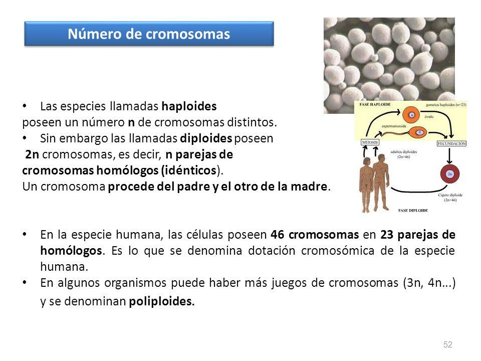 Las especies llamadas haploides poseen un número n de cromosomas distintos. Sin embargo las llamadas diploides poseen 2n cromosomas, es decir, n parej
