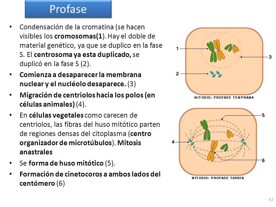 57 Condensación de la cromatina (se hacen visibles los cromosomas(1). Hay el doble de material genético, ya que se duplico en la fase S. El centrosoma