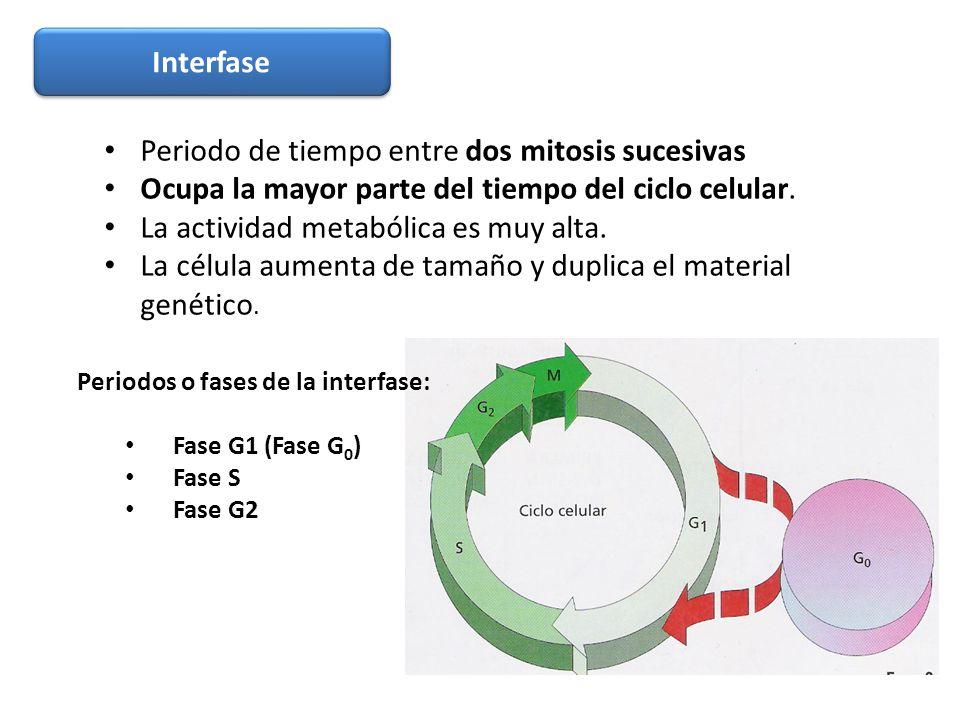 Periodo de tiempo entre dos mitosis sucesivas Ocupa la mayor parte del tiempo del ciclo celular. La actividad metabólica es muy alta. La célula aument