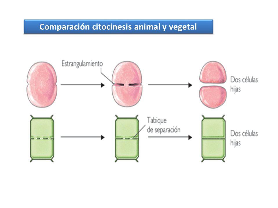 Comparación citocinesis animal y vegetal
