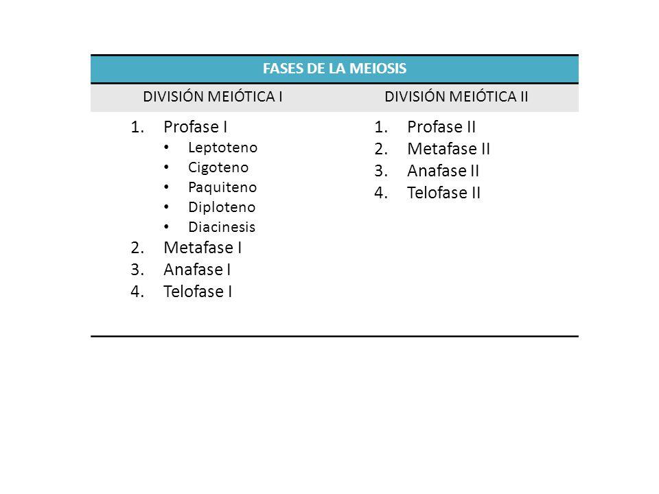 FASES DE LA MEIOSIS DIVISIÓN MEIÓTICA IDIVISIÓN MEIÓTICA II 1.Profase I Leptoteno Cigoteno Paquiteno Diploteno Diacinesis 2.Metafase I 3.Anafase I 4.T