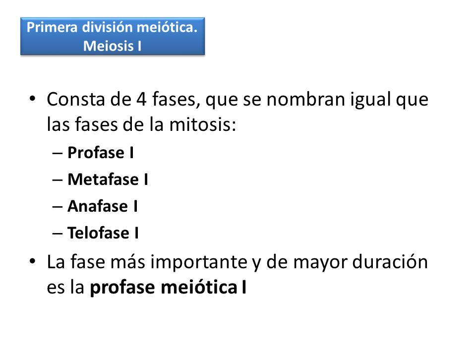 Consta de 4 fases, que se nombran igual que las fases de la mitosis: – Profase I – Metafase I – Anafase I – Telofase I La fase más importante y de may