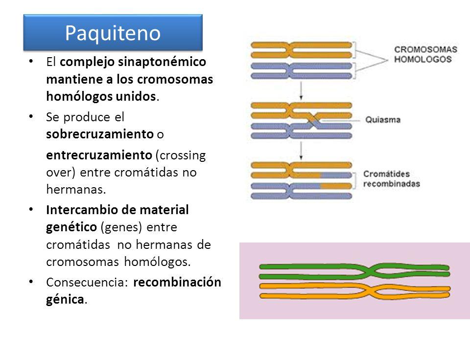 El complejo sinaptonémico mantiene a los cromosomas homólogos unidos. Se produce el sobrecruzamiento o entrecruzamiento (crossing over) entre cromátid